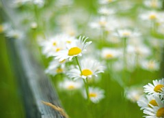 Blooming Along Fences (Majorlight) Tags: above flowers summer vacation white inspiration blur green love nature beautiful beauty sunshine daisies fence hope town seaside search dof bright bokeh farm country happiness wisdom rise metaphor barriers find inspiring within blooming rumi obstacles uplifting 2852 majorlight