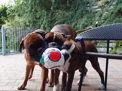agosto 004 (deboh76) Tags: dog pet cane boxerdog agosto crew bunch boxer gruppo mucchio canidi patafruttoli boxercrew