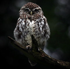 The Little Owl (SNAPDECISIONS !) Tags: wildlife owl avian wildbirds littleowl britishbirds birdphotos birdsofthebritishisles snapdecisions theworldofbirds birdsofbritonandeurope stunningphotogpin photodaygpin bestphoto4gpinaug2011