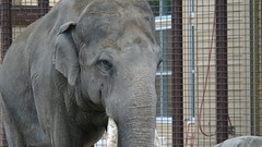 Elefante (biancamagalhaes) Tags: canada calgary animal zoo