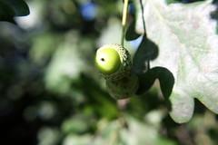 """""""greenhorn"""" (marfis75) Tags: tree green nature oak flickr wiesbaden sommer herbst cc acorn creativecommons nut grn garten baum halfbaked eichel nuss natrlich sptsommer fasanerie eichenbaum marfis75 grnhinterdenohren marfis75onflickr"""