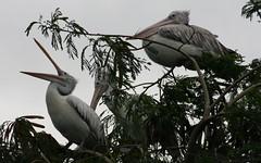 Chick, mama, papa (Nagarjun) Tags: birds bangalore herons madivala madiwala spotbilledpelicans egerts