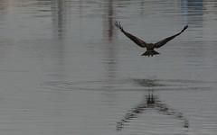 Hawk landing (Nagarjun) Tags: birds bangalore herons madivala madiwala spotbilledpelicans egerts