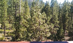 Trees as far as the eyes can see: the view from the balcony in our Lake Tahoe vacation rental.