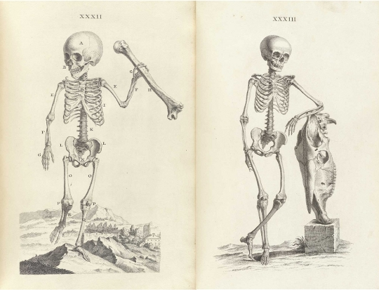 accuracy and elegance in cheselden's osteographia (1733) | the, Skeleton