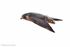 Peregrine Falcon - Fastest Member of the Animal Kingdom (Patricia Ware) Tags: california canon ngc raptor handheld huntingtonbeach peregrinefalcon falcoperegrinus bolsachicaecologicalreserve supershot allrightsreserved avianexcellence blinkagain bestofblinkwinners patriciaware