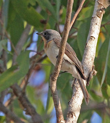 AU11_60d_03778a (jerryoldenettel) Tags: bird au australia flycatcher passeriformes 2011 passerine myiagra monarchidae myiagrarubecula leadenflycatcher