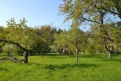 Natur (ThomasKohler) Tags: tree nature germany deutschland town spring natur an stadt der baum frhling mecklenburg obst fruehling mritz obstbaum waren mueritz kleinstadt streuobstwiese