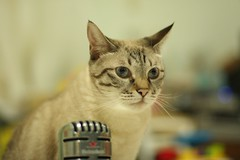 20110824__0111 (kenty_) Tags: cat ancient siamese gif
