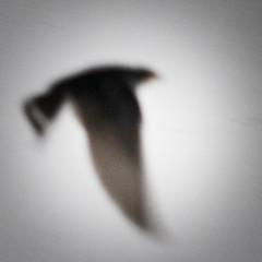 1 (Andrea Buzzichelli (aka Joseph Pane)) Tags: fly volo swallow rondine