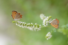 a pair of small coppers (snowshoe hare) Tags: flowers butterly botanicalgarden smallcopper    dsc1420