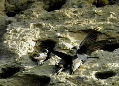 Uferschwalben, NGID1911977538 (naturgucker.de) Tags: deutschland mecklenburgvorpommern ripariariparia rgen uferschwalbe naturguckerde carmindreisbach ngid1911977538