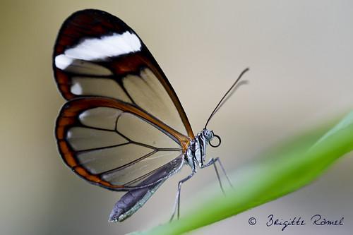 Una farfalla trasparente (Greta Oto) si appoggia su un filo d'erba. Questo genere di farfalle compiono lunghe migrazioni e sono tipiche del Centro America. Essendo leggermente tossiche sono difficilmente preda di uccelli e altri animali dans FARFALLE 6084477447_7d30c7cb5a