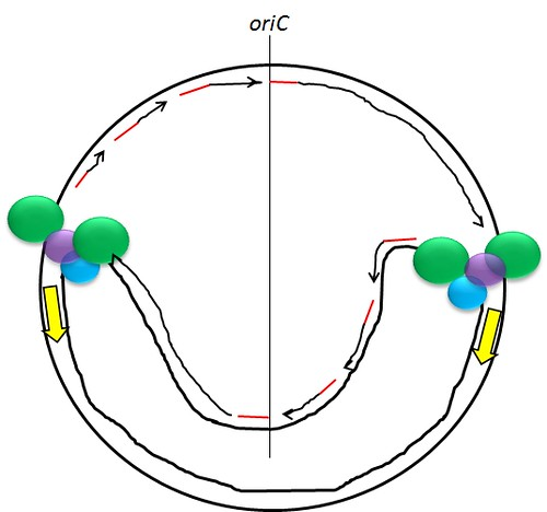 DNA replication in E. coli: Bidirectional replication