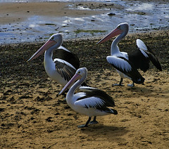 In for a free feed.... (Raja Daja) Tags: penguins oz australia feedingtime rajadaja samremo