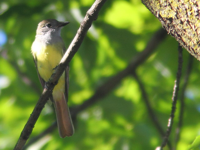 Great Crested Flycatcher 20110829