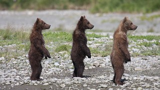 Three little bears