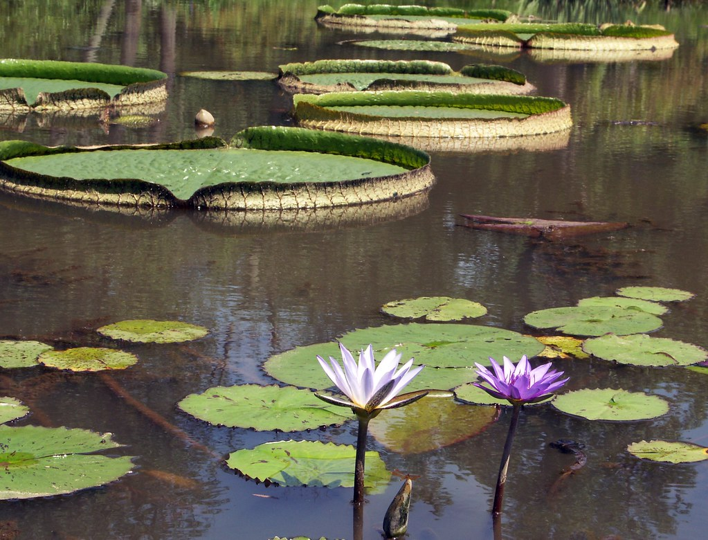 Water lilies, Kenilworth Aquatic Gardens