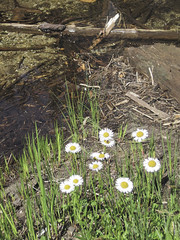 Mountain daisies (Jrk3) Tags: dorothylake alpinelakeswilderness wahiking