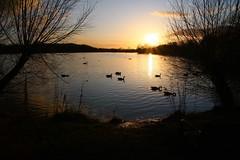 IMG_6052 (christophemurphy) Tags: sunset lake geese swan ducks boating rickmansworth aquadrome