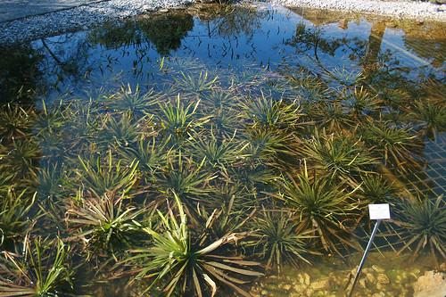 Krebsschere (Stratiotes aloides) - Botanischer Garten München