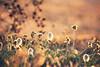 Savane Bretonne (ilovethelight!) Tags: flowers summer france flower color nature fleur canon 350d brittany bokeh dune bretagne canoneos350d couleur coucherdesoleil 2011 project365 365project projet365 1pictureaday canonfrance 365community 1photoparjour 2011enphoto 2011enphotos 1photo1jour 1picturesaday gettyimagesfranceq1