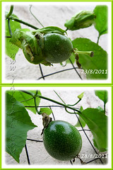 Our Passiflora edulis (Purple Passionfruit/granadilla) is fruiting for the first time, Aug 23-28 2011
