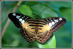 "1543 bf_11249   -Brown clipper -  ""Explored"" (chandrasekaran a 546k + views .Thanks to visits) Tags: macro nature butterfly massachusetts insects sylvia tamron90mm explored parthenos brownclipper canon60d stunningphotogpin best4gpin bestphoto4gpinsep2011"