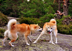 Play Time (Terje Hheim (thaheim)) Tags: dog nikon hund shibainu shiba d90 35mmf18g