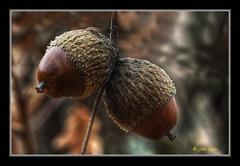 Un par (Julio_Castro) Tags: rural nikon arboles nikond70s campo montaña frutos encina roble bellotas colorphotoaward juliocastro