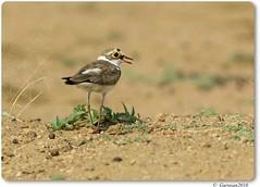 Little Ringed Plover (Gurusan2010) Tags: littleringedplover charadriusdubius