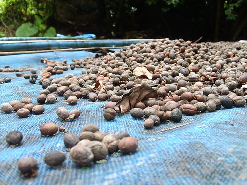 Thailand 12 coffee beans