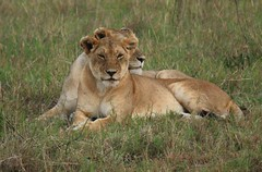 Wachful Lionesses (Sum_of_Marc) Tags: africa wild nature animal cat big leo kenya 5 five safari mara aslan león kenia masai maasai lew leão løve löwe afrique masaimara liew leeuw eastafrica maasaimara panthera leijona ケニア 肯尼亚 flickrbigcats republicofkenya 肯尼亞