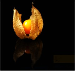 """Syphilis""...Oops I mean ""Physalis"" I always say the wrong one! (Samantha Nicol Art Photography) Tags: food orange black macro reflection fruit square nikon samantha physalis nicol"