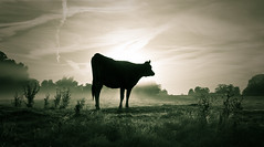 Jersey split tone (Kevin Day) Tags: mist misty sunrise dawn cattle cows jersey slough berkshire kevday bovine langleypark