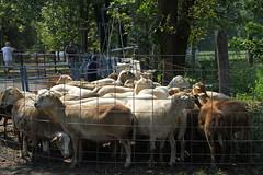 Sheep 201: Handling sheep and lambs