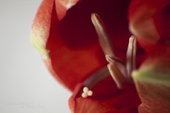rock and roll (LolloBboy) Tags: macro fiore hippeastrum corna tamron70300 royalred pistilli
