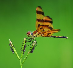 Halloween Pennant (male) (mllehmann) Tags: macro nature closeup insect dragonfly halloweenpennant
