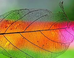 Summer greetings (xeno(x)) Tags: summer macro canon leaf backyard asia explore xeno 2011 5d2 jackfruitleaf