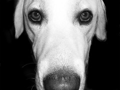 You're talking to-me ? (Suzel...) Tags: portrait dog chien white black art beautiful face nose eyes labrador noir plan velvet retriever yeux blanc beau gros regard pif poils truffe museau