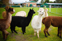 Day 214 : Mornington Peninsula (BeAsT#1) Tags: holiday alpaca canon kiss farm working australia victoria vic mornington peninsula visa frankston  alpacas x3 freshfield 500d  2011 whv