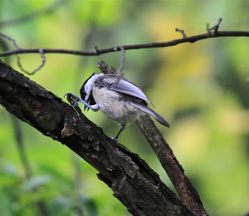 Black-Capped Chickadee by Shiny Dewdrop