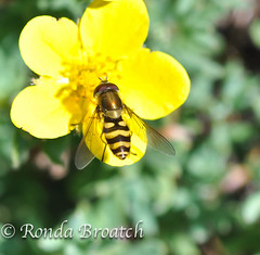 Bee on a buttercup (Ronda Broatch Photos) Tags: flowers nature garden hiking pacificnorthwest wildflowers naturalbeauty quilcene floraandfauna hikes olympicmountains washingtonhikes olympicnationalforest marmotpass buckhornwilderness washingtontrails bigquilcenetrail8331
