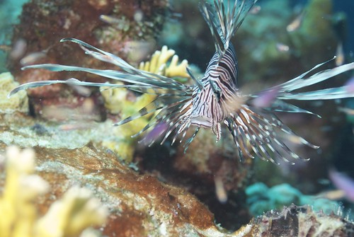 lionfish2 150811 by actor212