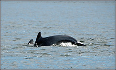 dolphin with calf (lochnesslyn) Tags: dolphin wildlife sealife morayfirth fantasticnature
