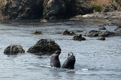 Elephant Seals #2 (hern42) Tags: california usa photoblog elephantseals latosf nikoncoolpixs50c