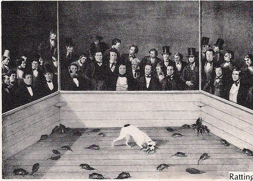 Major - Kills 100 Rats in 8 minutes, 58 seconds. (Lithograph)(New York Historical Society)