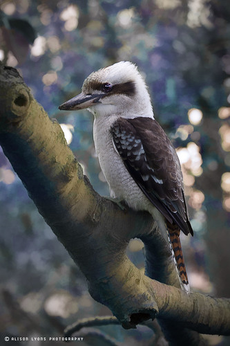Kookaburra by alison lyons photography