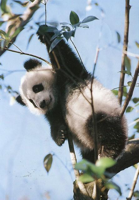Giant Panda / Tong Tong