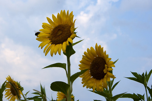 07222011JGW-BannerMarshNorthEastAccess-Sunflowers-Bee_MG_1245